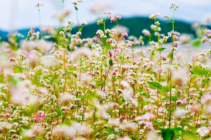 Hoa tam giác mạch bừng nở giữa phố núi Đà Lạt